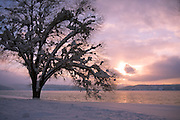 Idaho, Coeur d' Alene. A snow covered lakeshore tree and winter sunset on Lake Coeur d' Alene. . PLEASE CONTACT US FOR DIGITAL DOWNLOAD AND PRICING.