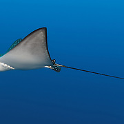 Juvenile spotted eagle ray (Aetobatus narinari) swimming in open water adjacent to Blue Corner dive site in Palau.