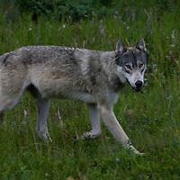 Timber wolf. Kootenay National Park, Canada.