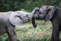 Playing African elephant claves, Addo Elephant National Park, Eastern Cape, South Africa