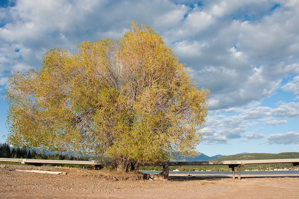 This iconic willow tree helps anchor the north shore of Flathead Lake. The illegally permitted bridge obstructs both the scenic beauty and recreational boat use when the lake is at high water. Destruction of the lakebed and the resulting loss of scenic value to the area caused by construction of a private bridge to Dockstader Island on the north shore of Flathead Lake in Bigfork, Montana, in violation of the state's Lakeshore Protection Act, as photographed on May 20, 2015.