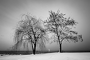 Two trees along the shore of Lake Ontario in Western New York.