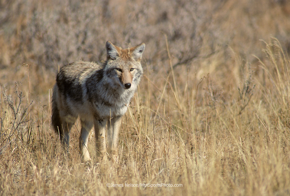 16-74. A coyote pauses in a opening in the sagebrush during an autumn afternoon in Yellowstone National Park located in western Wyoming.
