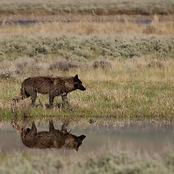 A wolf from Yellowstone's Druid Peak pack stalks Lamar Valley.