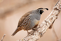 A male California quail stands on a fallen branch of a cottonwood tree in a northern Utah mountain valley.