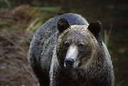 Grizzly Bear<br /> Ursus arctos<br /> Knight Inlet, Glendale River, British Columbia