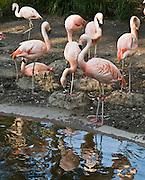 "The Chilean Flamingo (Phoenicopterus chilensis) is a large species (110-130 cm) closely related to Caribbean Flamingo and Greater Flamingo, with which it is sometimes considered conspecific (belonging to the same species). It occurs in temperate South America and was introduced into Germany and the Netherlands (colony on the border, Zwilbrockervenn). Like all flamingos it lays a single chalky white egg on a mud mound. Chilean Flamingo plumage is pinker than the slightly larger Greater Flamingo, but less so than Caribbean Flamingo. It can be differentiated from these species by its greyish legs with pink ""knees"", and also by the larger amount of black on the bill (more than half). Photographed in the Woodland Park Zoo, Seattle, Washington."