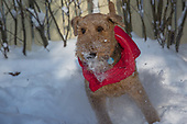Arya the Airedale