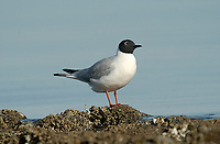 Franklin's Gull (Larus pipixcan), Oyster Bay nr. Cambell River, Vancouver Island, Canada   Photo: Peter Llewellyn