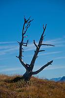 Dead tree on the Niederhorn in the Swiss Alps, Berner Oberland, Switzerland.