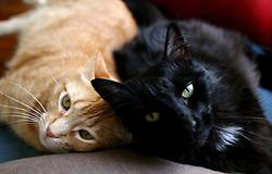 1st Feb, 2006. Cats Zelda (l) and Monster (rt) lounge at home. <br /> Photo; Charlie Varley/varleypix.com