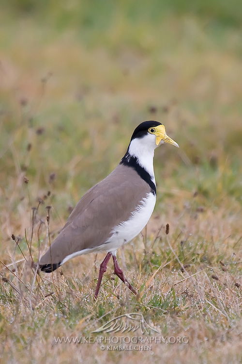 Spur-winged Plover / Masked Lapwing, Riverton, New Zealand