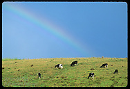 Rainbow hangs over cattle grazing in pasture on Fazenda Retiro near Pelotas, Rio Grande do Sul. Brazil