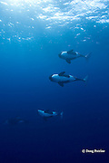 pod of orcas, or killer whales, Orcinus orca, underwater, King Bank, New Zealand, ( South Pacific Ocean )
