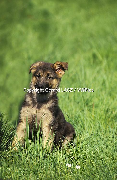 German Shepherd Dog,   Pup  sitting on Grass