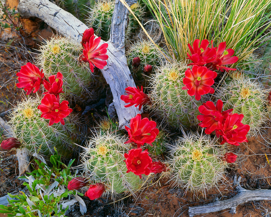 0303-1082 ~ Copyright:  George H. H. Huey ~ Claret-cup hedgehog cactus in bloom.  Island In The Sky.  Canyonlands National Park, Utah.