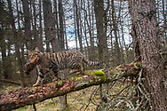 Red squirrel (Sciurus vulgarise) foraging in pine forest in summer, Scotland.