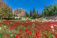 Poppy field in front of  the romans ruins of  Baalbek in Beeka valley Lebanon Middle east