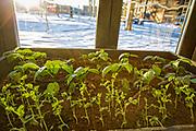 Tomatplanter og erter vokser bra inne på Credo, selv om detfortsatt er kald vårvinter utenfor. Nyåpnede Credo restaurant i Trondheim, er et moderne og romslig spisested som har fått tilhold i et gammelt industriområde på Lilleby. De bruker lokale råvarer, og er selvforsynt med alt grønt. Det dyrkes i samarbeid med et gårdsbruk i sommersesongen, og innendørs på tilsammen 50 m2 fordelt på alle steder der det er mulig.