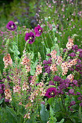 Astrantia' Glebe Cottage Crimson', Verbascum chaixii 'Cotswold Beauty' and Papaver somniferum (opium poppy) at Glebe Cottage