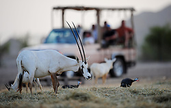 Image ©Licensed to i-Images Picture Agency. 15/06/2009. Tourist view the Arabian Oryx's  as the sunsets on Sir Bani Yas Island, in the United Arab Emirates, a former private nature reserve belonging to the late Sheikh Zayed, The founder of the United Arab Emirates , the Island  has been recently opened to the public and is the first safari in the United Arab Emirates.Picture by Andrew Parsons / i-Images