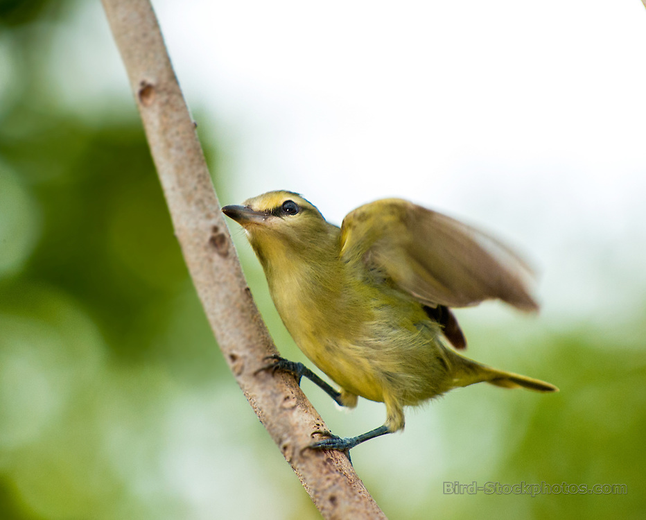 Yucatan Vireo, Vireo magister, Yucatan, Mexico, by Owen Deutsch