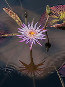 Waterlily Alchemy