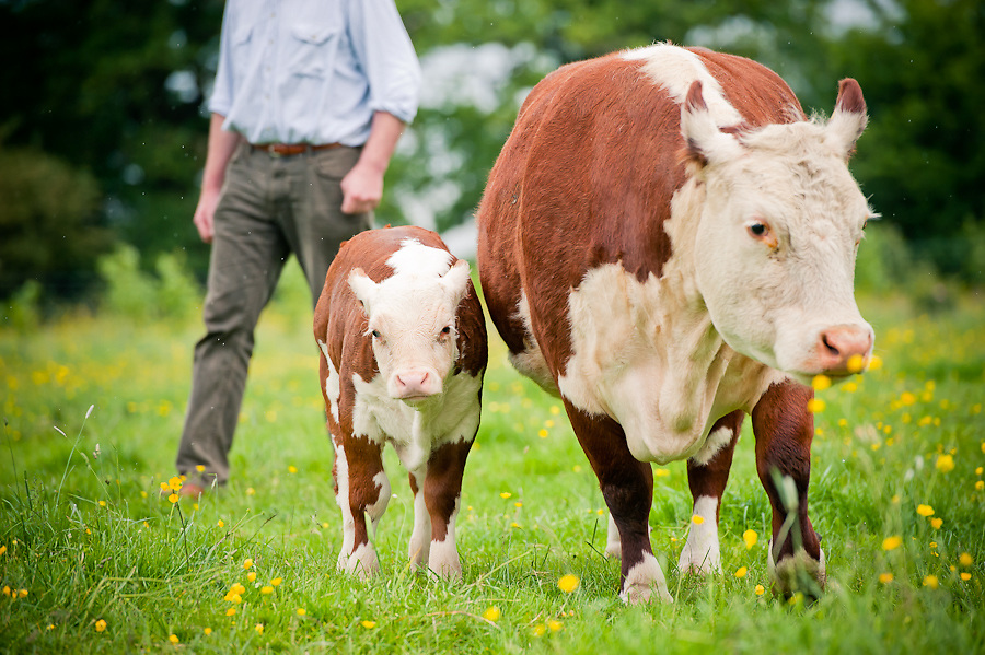 A traditional hereford calf and cow with onlooking farmer keith siddorn wearing a blue shirt. Part of the largest herd of traditional hereford cows in Britain and one of the largest in the world and are now the supplier of beef to the chester grosvenor hotel.