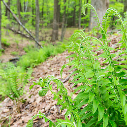 Christmas ferns, Polystichum acrostichoides, in a hardwood forest in Epping, New Hampshire.