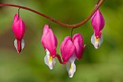 Bleeding Heart (Dicentra spectabilis) flowers blooming