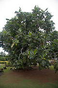 Breadfruit tree, Moorea, French Polynesia