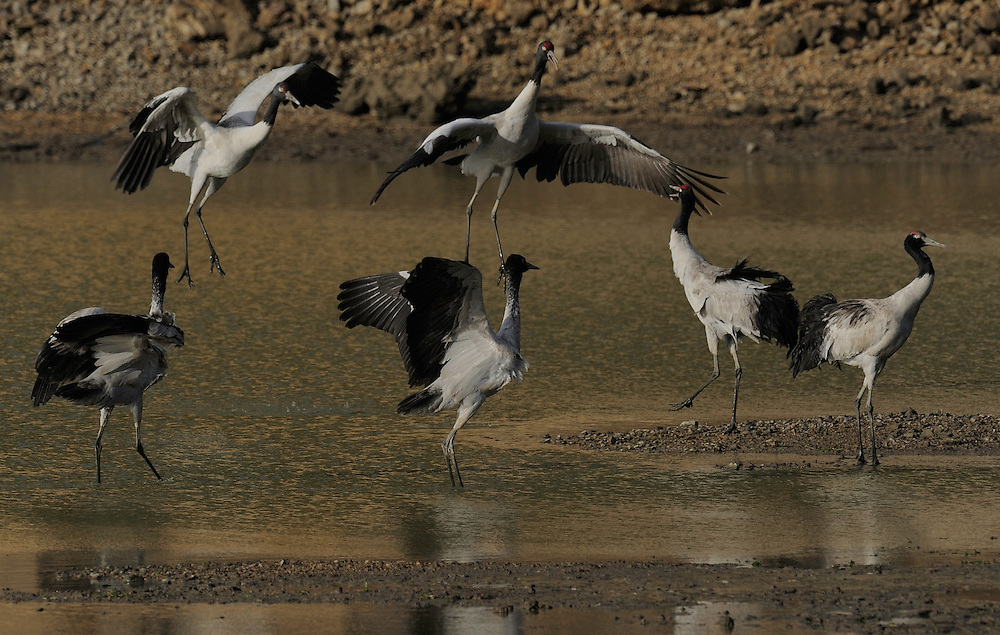 Black-necked crane, Grus nigricollis, Napa Lake, Yunnan province, China