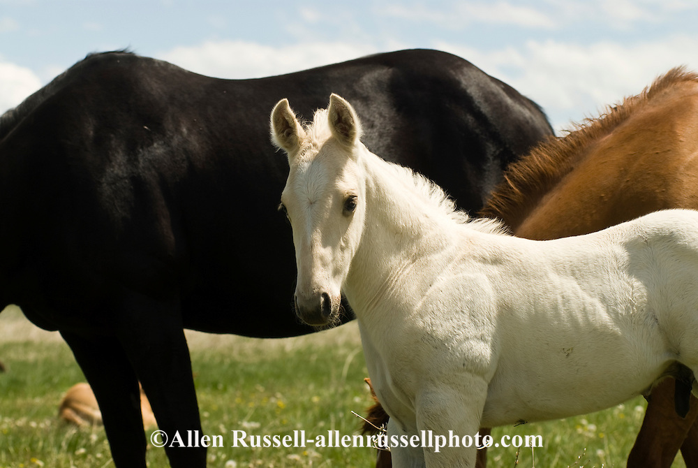 Quarter Horses, foal and mare<br /> PROPERTY RELEASED