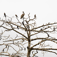 Pelican and cormorant birds perched on a tree, Panama City, Central America