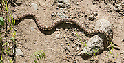 Watch for frequent Western Rattlesnakes on Imnaha River Trail, in Hells Canyon National Recreation Area, Wallowa-Whitman National Forest, Imnaha, Oregon, USA. Crotalus viridis (commonly known as the Western Rattlesnake, Prairie or Plains Rattlesnake) is a venomous pit viper native to the western United States, southwestern Canada, and northern Mexico. The Western Rattlesnake is common in much of eastern Washington, and is Washington's only venomous snake. A rattlesnake bite seldom delivers enough venom to kill a human, although painful swelling and discoloration may occur. Distinctive features of the Western Rattlesnake include a broad, triangular head that is much wider than its neck; a diamond-shaped pattern along the middle of its back; and rattles on the tail tip. Color patterns differ with habitat, ranging from olive to brown to gray. Black and white crossbars may occur on the tail. Western rattlesnakes measure 18 inches to 4 feet at maturity. The number of segments on the rattle does not indicate the true age of the snake, since rattlesnakes lose portions of their rattles as they age.