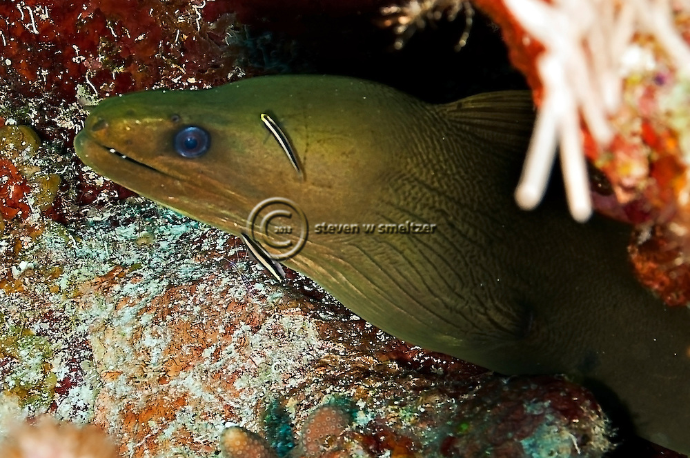 Green Moray Eel, Gymnothorax funebris, on the reef, Ranzani, 1840, Grand Cayman
