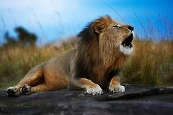 Roaring Lion (Panthera Leo) in Masai Mara, Kenya