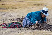 Chincheros, Peru - July 23, 2013: woman collecting moraya at Chincheros town in the peruvian Andes at Cuzco Peru on july 23, 2013