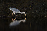 Grey Heron looking for food | Gråhegre leter etter mat.