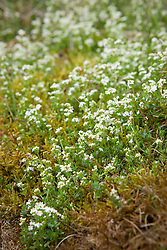 Heath Bedstraw. Galium saxatile