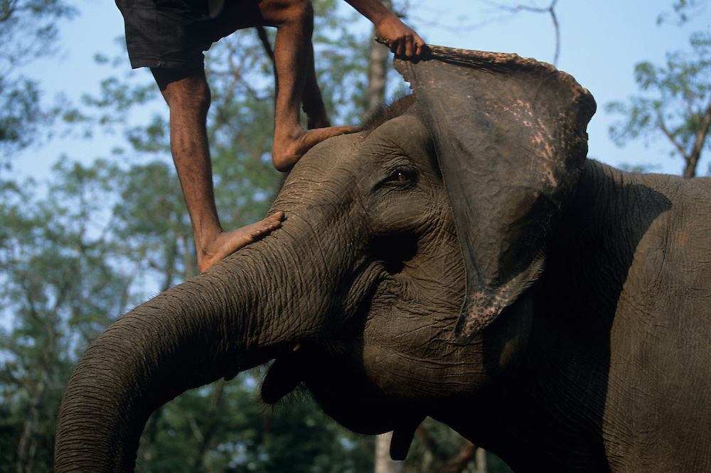 Nepal, Royal Chitwan National Park, Mahout (elephant trainer) stands atop Asian Elephant (Elephas maximus) tourist camp