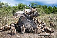 White-backed Vultures feeding on a poached White Rhino, Hluhluwe-iMfolozi Game Reserve, KwaZulu Natal, South Africa