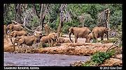 Elephants Drinking At Ewaso Ng'iro River<br /> Samburu National Reserve, Kenya<br /> September 2012