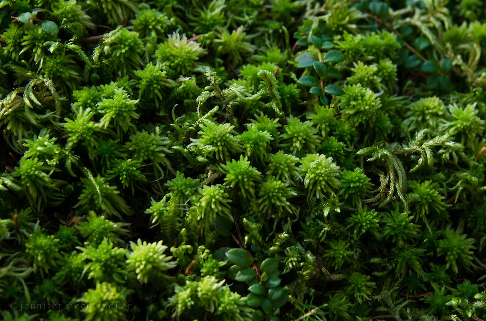 Close-up view of sphagnum moss and mountain cranberry (Vaccinium vitis-idaea), Baxter State Park, Maine.