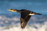 White-Breasted Cormorant in flight, Struisbaai, Western Cape, South Africa