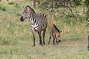Juvenile Zebra foal with its mother Photographed in Tanzania