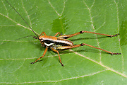 Close up of a young bush cricket (Pholidoptera littoralis) resting on a leaf in a wooded habitat near the coast, Rovinj, Croatia