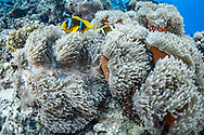Clown fish (Amphiprion bicinctus) and sea anemone (Actiniaria), Red Sea, Sudan.