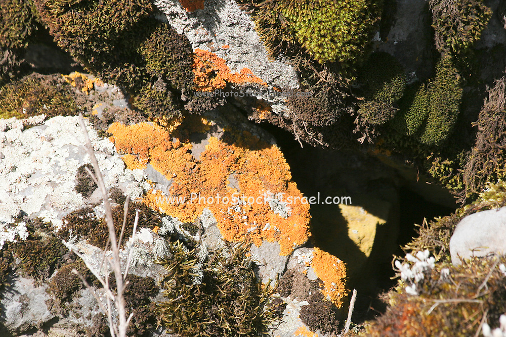 Africa, Ethiopia, Oromia Region, Bale Mountains Rust Lichens on a rock