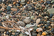 Variable Oystercatcher, egg